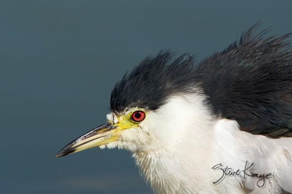 Black-crowned Night-Heron, (c) Photo by Steve Kaye