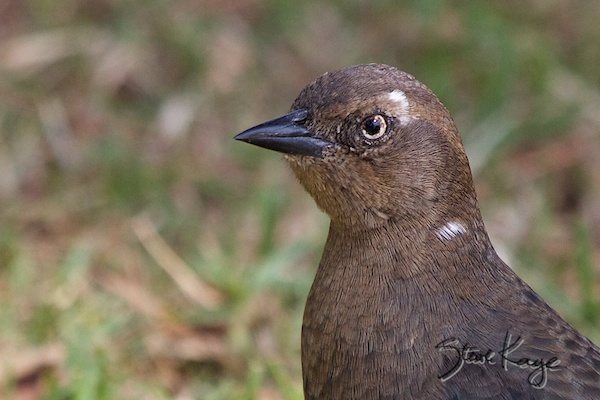 Brewer's Blackbird, Female, in Funny Birds, (c) Photo by Steve Kaye
