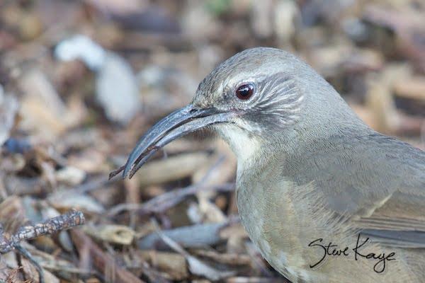 California Thrasher, in Birds Up Close, (c) Photo by Steve Kaye