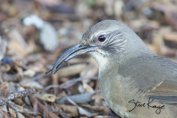 California Thrasher, in Birds Up Close, (c) Photo by Steve Kaye