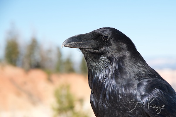 Common Raven, in Birds Up Close, (c) Photo by Steve Kaye