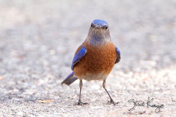 Western Bluebird, Male, in Funny Birds, (c) Photo by Steve Kaye