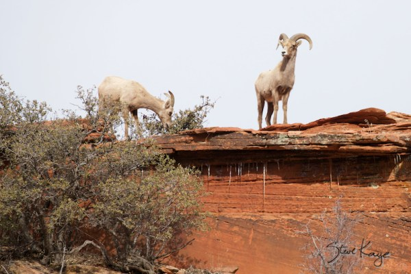 Bighorn Sheep at Zion National Park, in article on Wildlife Photos