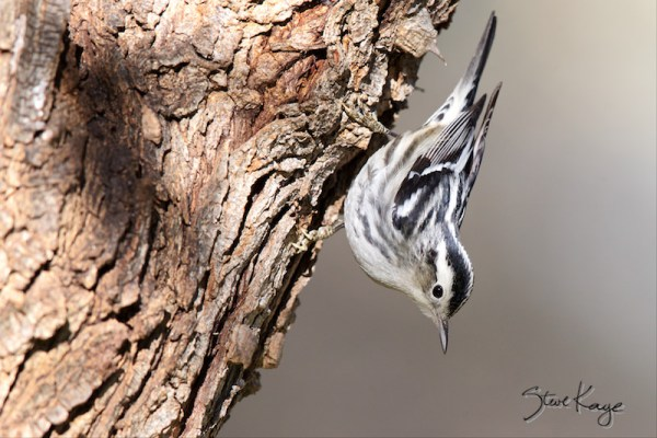 Black-and-white Warbler, Female, (c) Photo by Steve Kaye