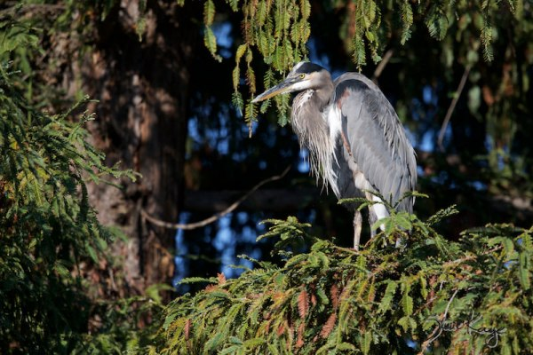 Great Blue Heron, (c) Photo by Steve Kaye