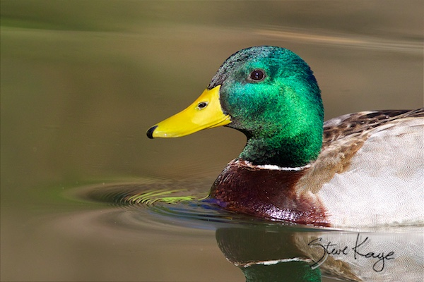 Mallard, male, (c) Photo by Steve Kaye, in Why Is This Duck Smiling