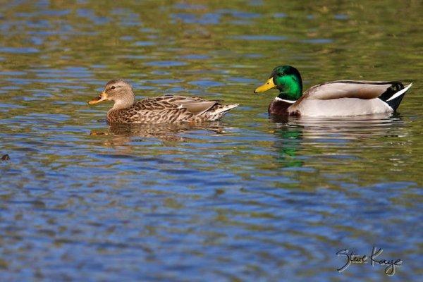 Mallards, Female (Lt) and Male (Rt), (c) Photo by Steve Kaye