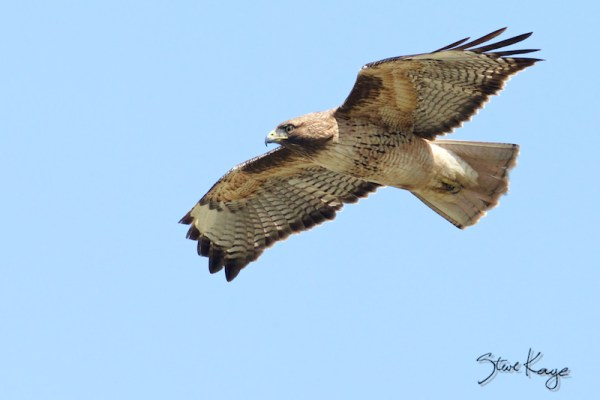 Red-tailed Hawk Flying, (c) Photo by Steve Kaye