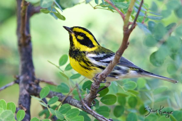 Townsend's Warbler, Male, (c) Photo by Steve Kaye