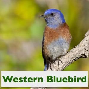 Western Bluebird, Male, (c) Photo by Steve Kaye