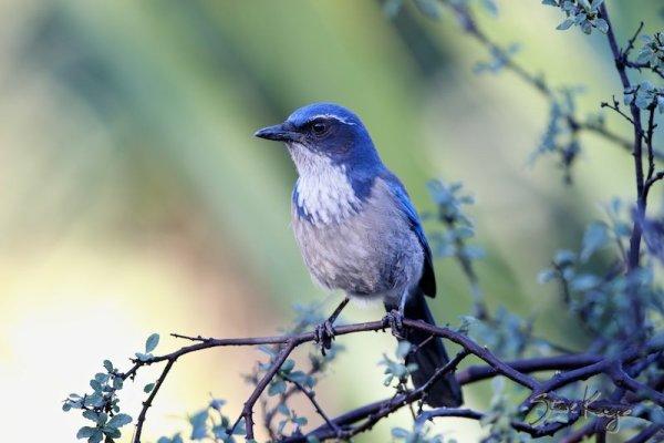 California Scrub-Jay, (c) Photo by Steve Kaye
