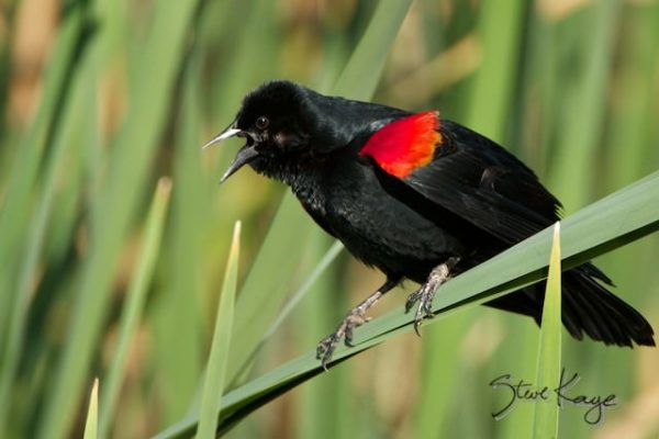 Red-winged Blackbird, Male, (c) Photo by Steve Kaye