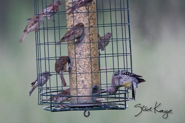 Gila Woodpecker, (c) Photo by Steve Kaye, in post: Not a Finch