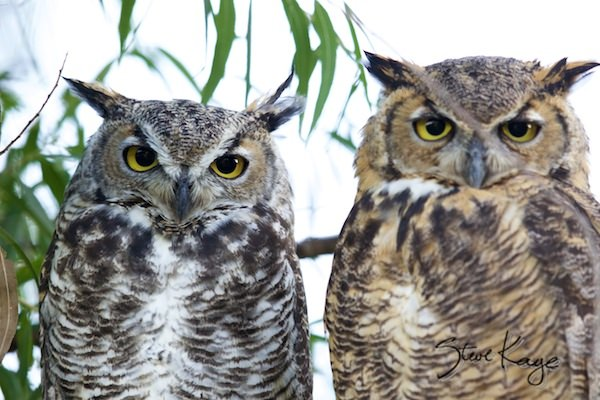 Great Horned Owl, Male (Left) and Female (Right), (c) Photo by Steve Kaye, in post: American Gothic