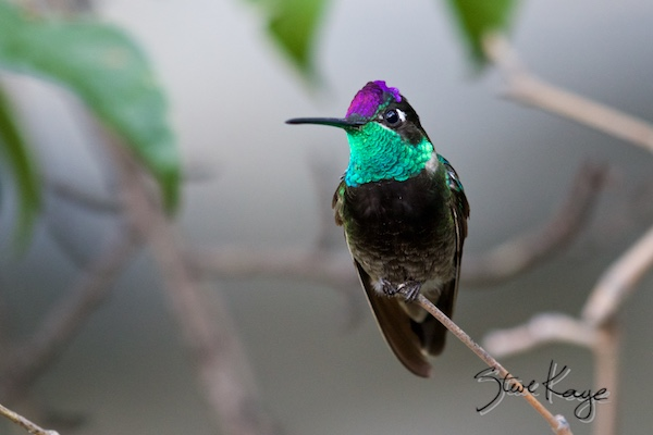 Magnificent Hummingbird, Male, (c) Photo by Steve Kaye