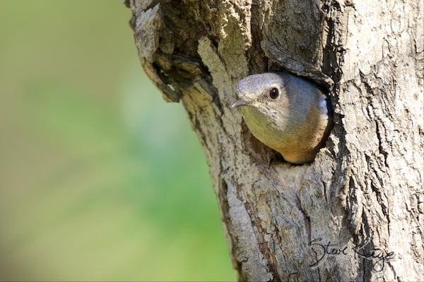 Western Bluebird, Female, at Tree Cavity, (c) Photo by Steve Kaye