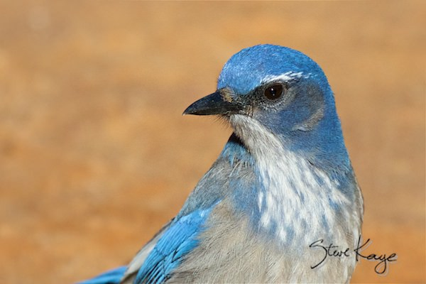 Woodhouse's Scrub-Jay, (c) Photo by Steve Kaye, in Birds Up Close