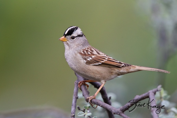 "White-crowned Sparrow, (c) Photo by Steve Kaye, in article: ""You Can Break the Rules"""