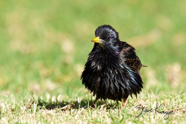European Starling, in fluffed up birds, (c) Photo by Steve Kaye