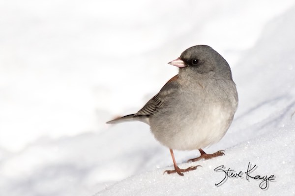 Gray-headed Dark-eyed Junco, in fluffed up birds, (c) Photo by Steve Kaye