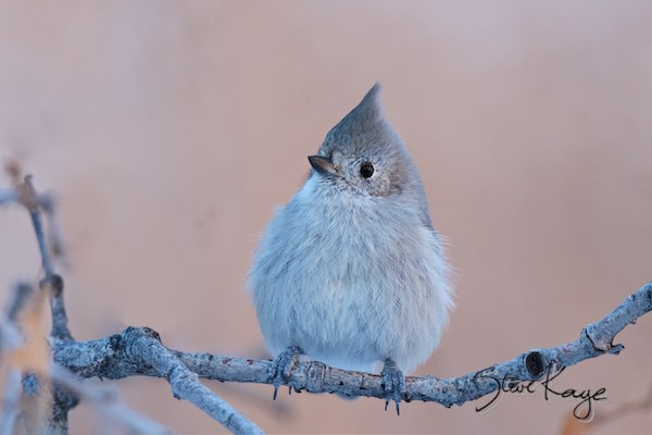 Juniper Titmouse, in fluffed up birds, (c) Photo by Steve Kaye