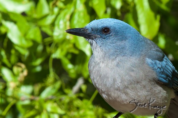 Mexican Jay, (c) Photo by Steve Kaye, in Birds Up Close