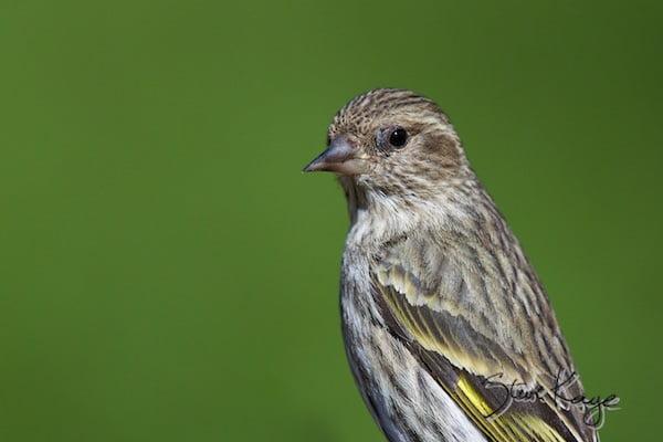 Pine Siskin, (c) Photo by Steve Kaye, in Birds Up Close