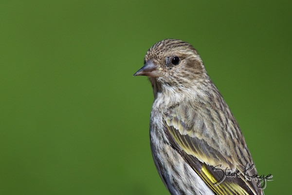 Pine Siskin, (c) Photo by Steve Kaye, in Birds Up Close