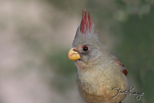 Pyrrhuloxia, Female, (c) Photo by Steve Kaye, in Birds Up Close