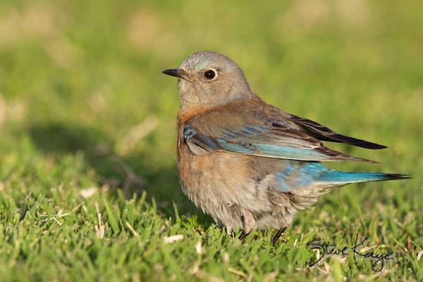 Western Bluebird, Female, in fluffed up birds, (c) Photo by Steve Kaye