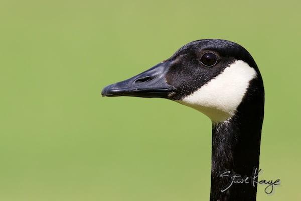 Canada Goose, (c) Photo by Steve Kaye, in Funny Birds