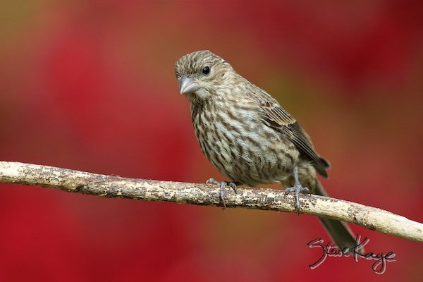 House Finch, Female, (c) Photo by Steve Kaye, in Meet the House Finch