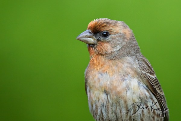 House Finch, Male, (c) Photo by Steve Kaye, in Meet the House Finch