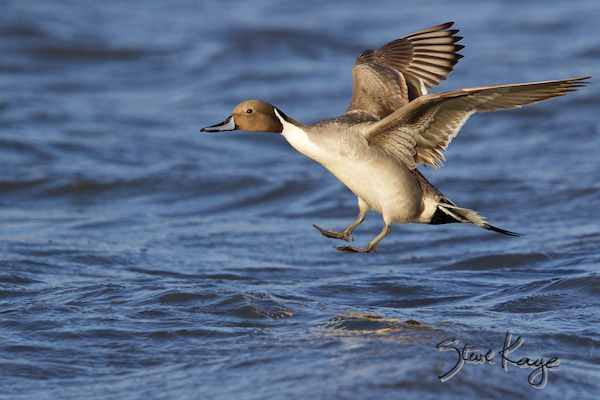 Northern Pintail, Male, (c) Photo by Steve Kaye, in Ethics & Policies by Steve Kaye