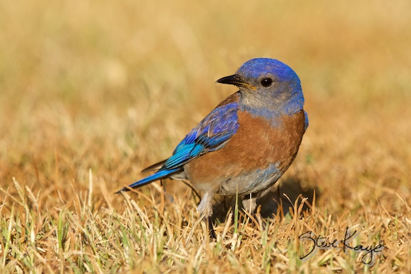 Western Bluebird, © Photo by Steve Kaye, in Hello event and meeting planners
