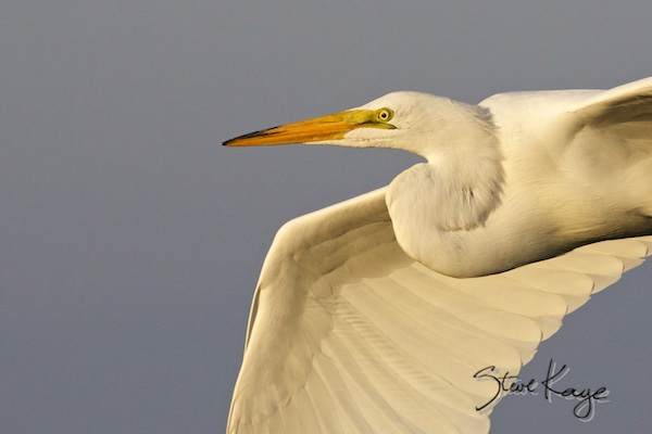 Great Egret, © Photo by Steve Kaye, in Birds Up Close