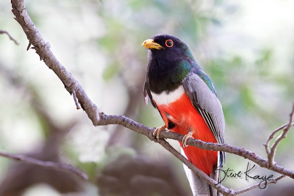 Elegant Trogon, © Photo by Steve Kaye