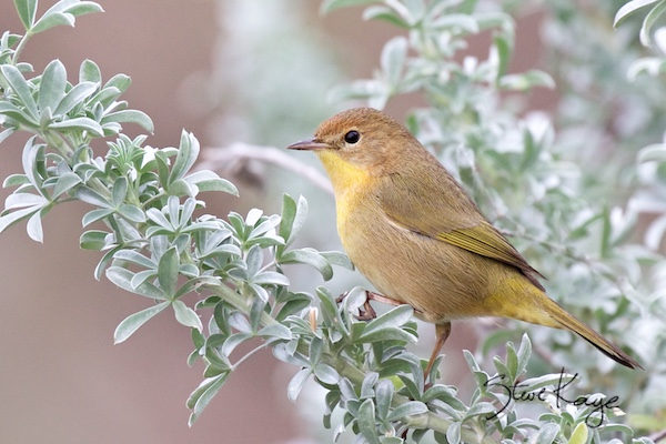 Common Yellowthroat, Female, (c) Photo by Steve Kaye, in How to Be Lucky