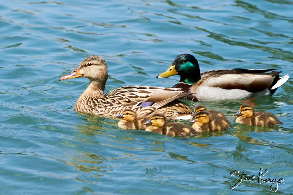 Mallard - Female (Left), Male (Right) and Five Chicks; © Photo by Steve Kaye, in blog post: Have You Seen These Odd Ducks?
