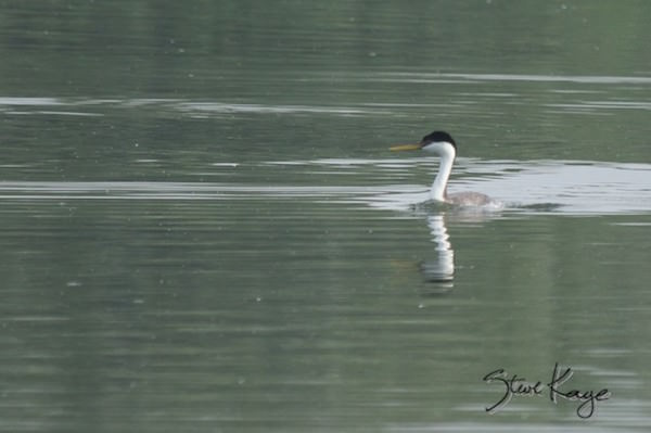 "Western Grebe, © Photo by Steve Kaye, in blog ""Shudder at These Spooky Birds"""
