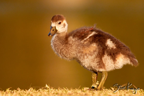 Egyptian Goose, Juvenile, (c) Photo by Steve Kaye, in blog post: No Content