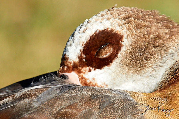 Egyptian Goose, Female, Napping, © Photo by Steve Kaye, in blog post: Take time to rest