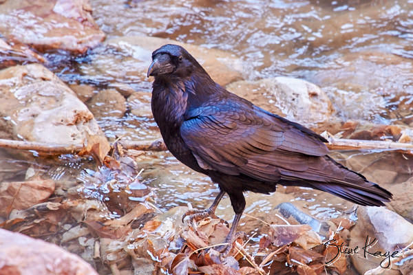"Common Raven, © Photo by Steve Kaye, in post ""Beyond Black"""
