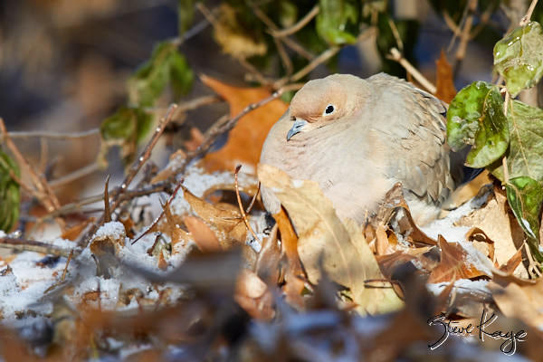 "Mourning Dove, © Photo by Steve Kaye, in blog post ""Winter Tribute"""