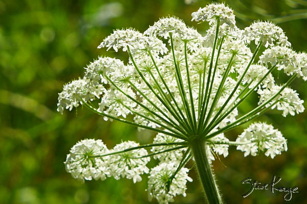 "Cow Parsnip, in Photo Article: ""See Photos of Flowers"" by Steve Kaye"