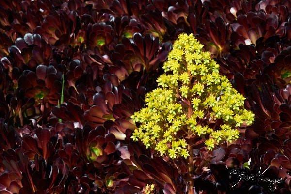 "Dark Purple Aeoniums, in Photo Article: ""See Photos of Flowers"" by Steve Kaye"