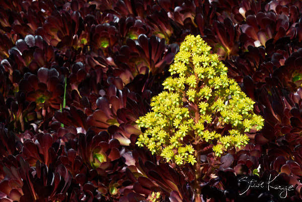 "Dark Purple Aeoniums, in Photo Article: ""See Photos of Flowers"" by Steve Kaye"