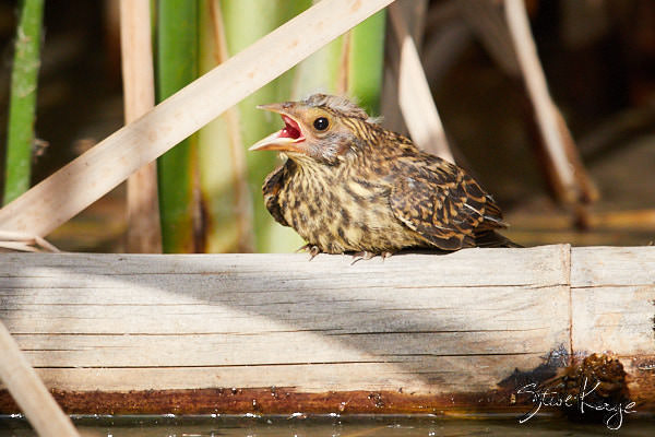 Red-winged Blackbird, Juvenile, © Photo by Steve Kaye, in blog post: Earth Day by the Birds
