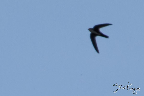 White-throated Swift, © Photo by Steve Kaye, in blog post: Progress Report