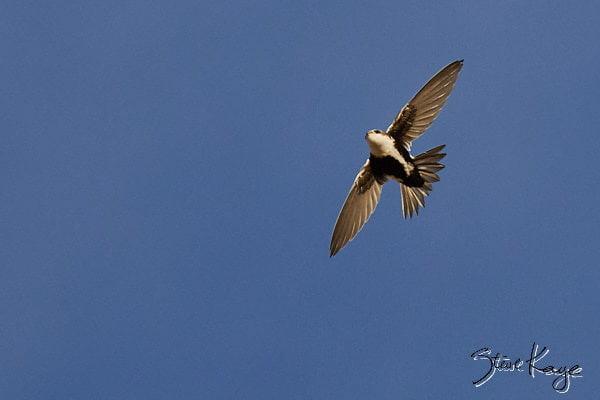 White-throated Swift, © Photo by Steve Kaye